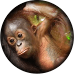 infant orangutan graphic