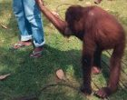 Caretakers leading orangutans from field cage