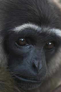 Boswell the gibbon