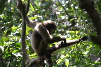 A young male gibbon grooms himself