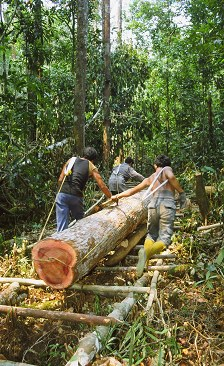 Illegal loggers removing trees from Tanjung Puting National Park in August 2002. The loggers were removed by Indonesian forces in February 2003. Photo by Georgeanne Irvine