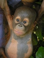 An orphan called Lear at the Orangutan Care Center and Qurantine