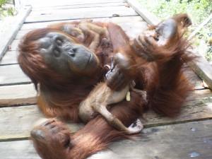 orangutan twins
