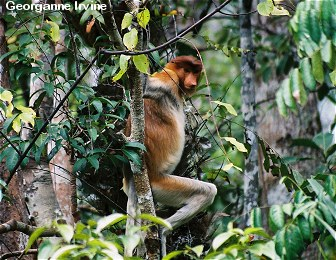 Poachers were killing proboscis monkeys along the river en route to Camp Leakey until OFI began patrolling the area.