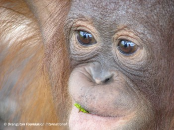 Juvenile orangutan chewing on a leaf