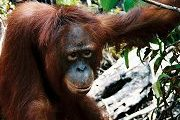 This ex-captive orangutan lives near Camp JL in Lamandau, where illegal loggers have become a threat to the environment (click to enlarge)