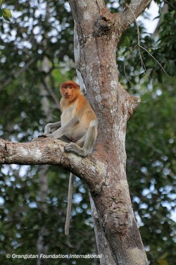Immature male proboscis monkey on river's edge