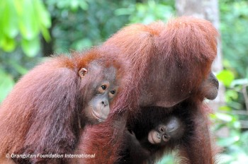 Orangutan and offspring