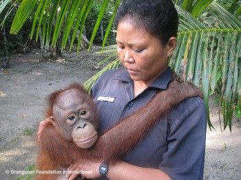 A young orangutan with his Caretaker at the Care Center and Quarantine.