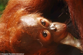 A nursing infant orangutan on mother's nipple