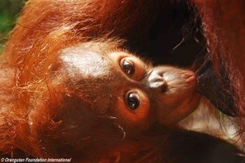 A nursing infant orangutan on mother's nipple