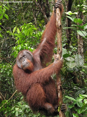 A flanged orangutan male hanging from a small tree