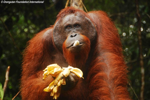 Adult male  orangutan eating bananas