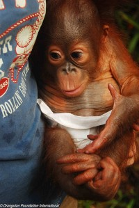 Orangutan at the Care Center