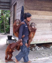 Caregiver with 3 orangutans