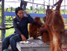 The orangutans enjoying an in between snack