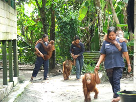 Taking out the orangutans is heavy work, but the women at the Playpen Facility are happy to do it.