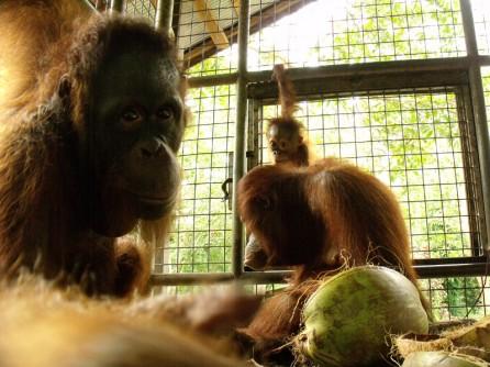 orangutans in cage at care center