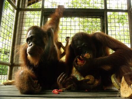 orangutans at care center