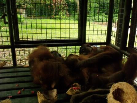 Orangutans at OCCQ