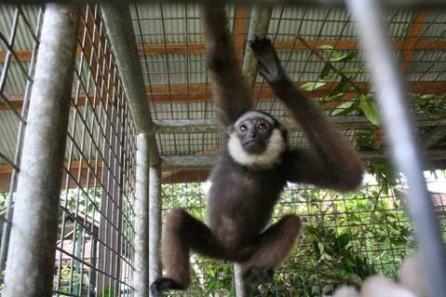 A gibbon at the care center
