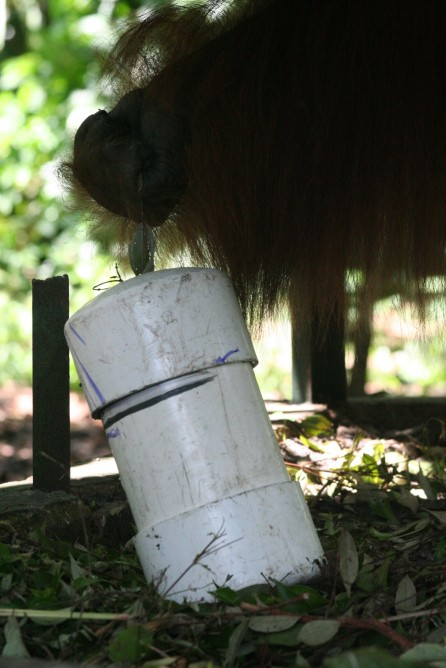 "Mamat using a stick to get honey out of his ""termite"" feeder tube"