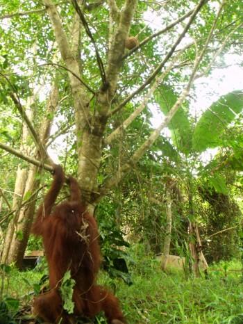 Hangki the orangutan 02