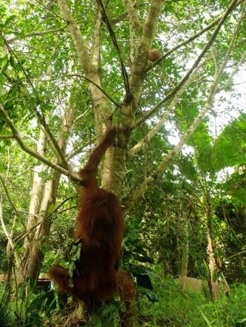 Hangki the orangutan 03