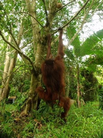 Hangki the orangutan 04