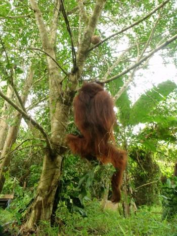 Hankgi the orangutan 05