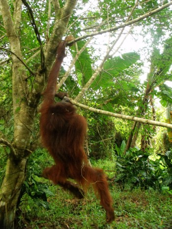 Hangki the orangutan 05