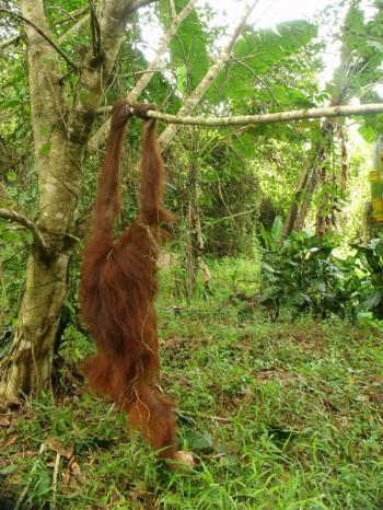 Hangi the orangutan 06
