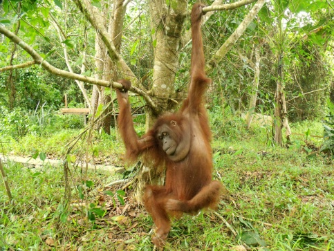 Hangki climbing a small tree (click on the picture to read the full story)