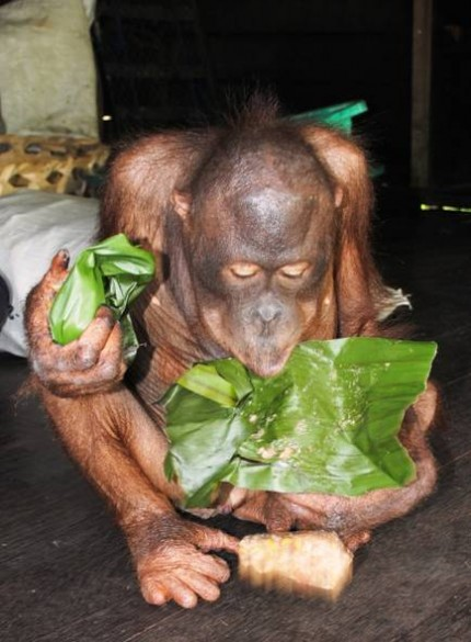 Gordon licks the banana leaves clean!