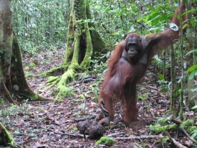 orangutan standing