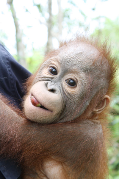 Douglas, a real charmer, favorite of both human and orangutan females at the Orangutan Nursery!