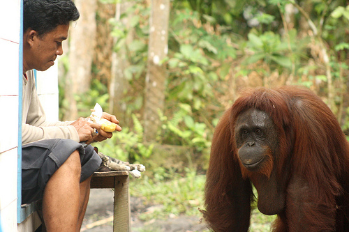 Siswi observes Camp Leakey manager, Pak Faisal as he peels a potato in the kitchen.  Despite making her desires clear, she didn?t attempt to steal it!