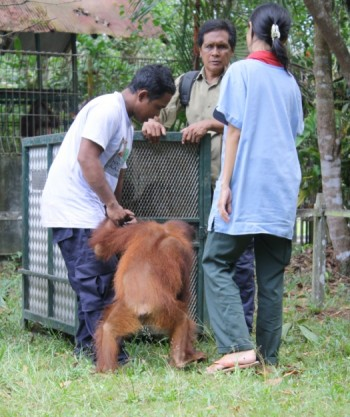Saut is led into the enclosure by Pak Mekok (left), Pak Laju (center) and Dr. Popo (right)