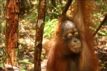 Berman the orangutan