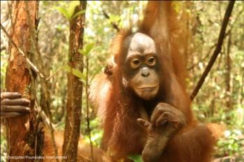 Berman the orangutan looking nervous