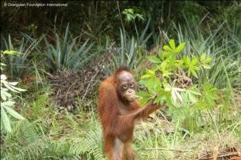 Berman the orangutan eating Pak Majid's cassava plants