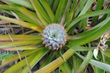 Top view of a pineapple fruit: almost ripe and ready to be picked
