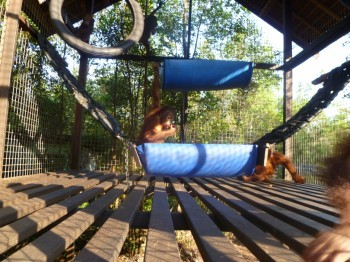 New hammock built for Hocky and other young orangutans in the nursery