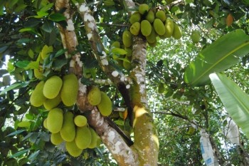 Durian Fruit Tree Pictures