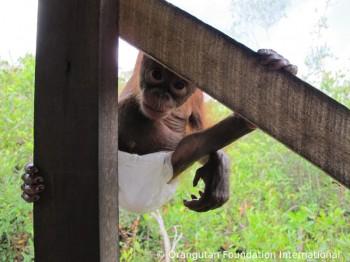 Luna the orangutan climbing.