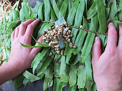 Making fern leaf parcels stuffed with bean sprouts at the Orangutan Care and Quarantine Center.