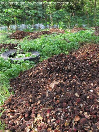 Compost piles at the OCCQ containing mostly rambutan husks and seeds.