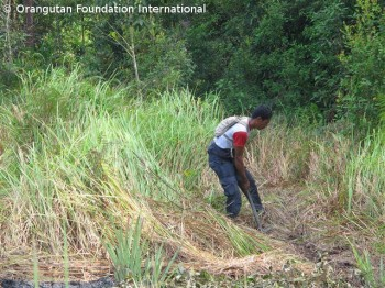 Pak Majid in action!  He is clearing the field to plant pineapples.