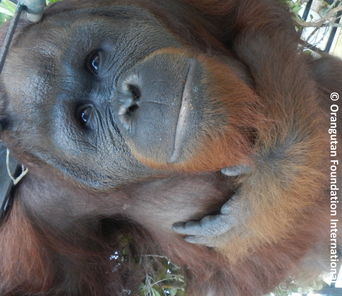 Bintang the orangutan