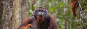 adult-orangutan2